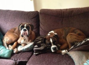 The two Boxers relaxing