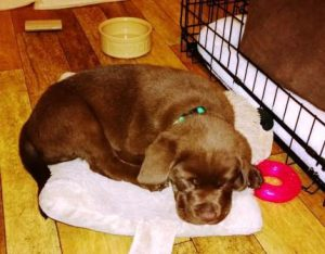 Chocolate Labrador Puppy Charlie