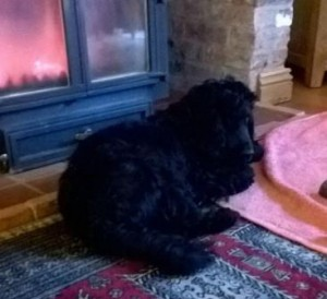 Black Cocker Spaniel lying by the fire