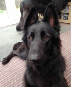 Black German Shepherd Kody on the left does not like people coming to her house