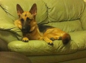GSD had been sent away to boot camp but  came back worse