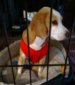 Beagle mix on crate rest due to neck injury