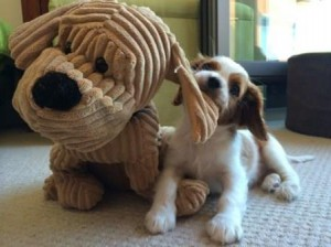 Cavalier puppy and his big toy dog