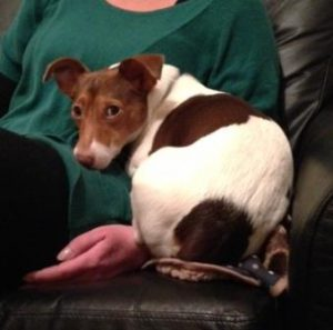 Finn is quite restrained for an adolescent Jack Russell with an uncertain past