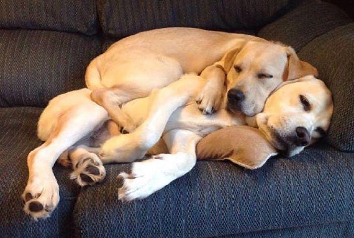Labradors cuddling