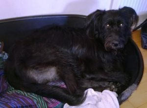 German Shepherd, Portuguese Water Dog mix attacked another dog