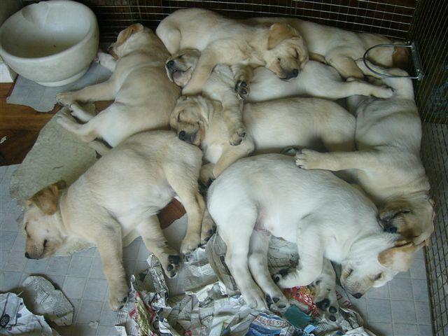 Labrador litter