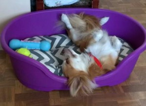Chihuahua lying on his back in his bed