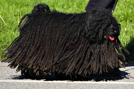Hungarian Puli as it normally looks