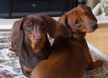 Two daschunds