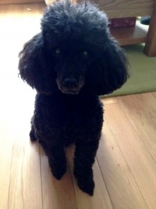 Poodle Bosco is a confident friendly little dog is a testament to their good 'dog parenting'.