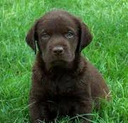 Eight week old Chocolate Labrador puppy