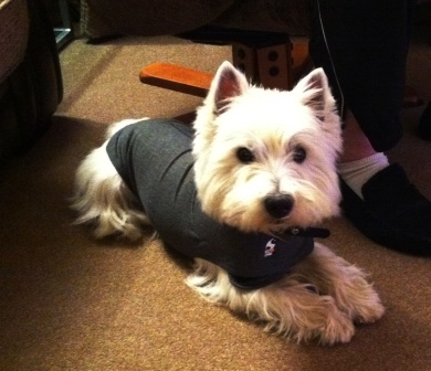 Westie in Thundershirt