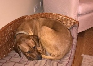Rhodesian Ridgeback lies in her bed