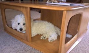 Bichon Frise puppy under coffee table