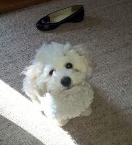 fourteen week old Bichon Frise