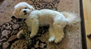 Maltipoo lying down with toy