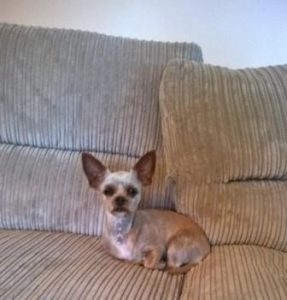 Tiny Chihuahua Yorkie cross on large sofa