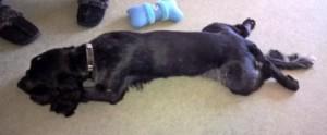 Blue Roan Cocker lying on his tummy