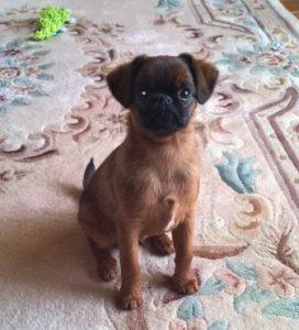 Petite Brabancon Griffin puppy
