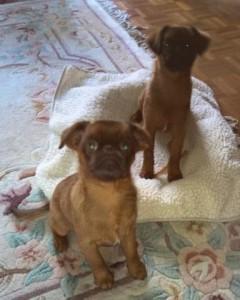 Griffon, Petite Brabancon puppies