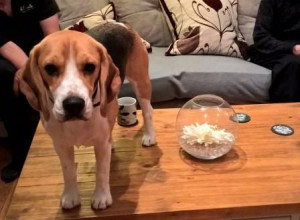 BEagle standing on the coffee table