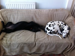 Two dogs lying together