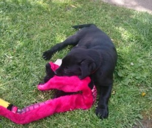 Blac Labrador pupy playing with toy