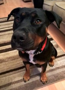 Rottie Staffie mix