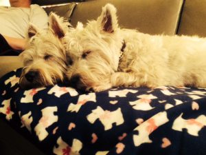 Westies sleeping together