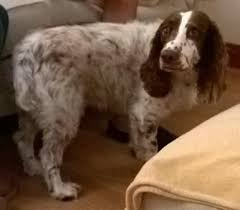 Siilar Springer with tail between his legs