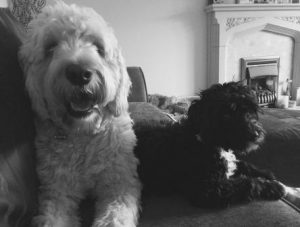 Goldendoodle with Cockerpoo pup on the sofa
