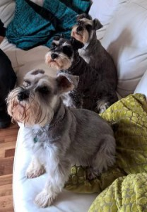 Miniature schnauzers sitting on sofa