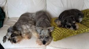 Three miniature schnauzers