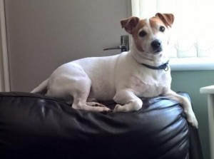 Jack Russell lying on back of sofa