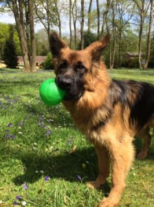 German Shepherd with ball