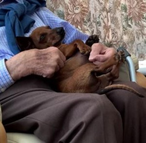 Miniature Daschund on old man's lap