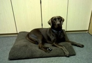 Young chocolate labrador on his bed