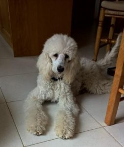 Six month old white standard poodle
