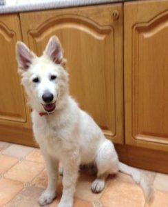 six month old white German Shepherd puppy