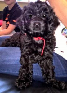 Black Maltese puppy