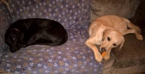 Two Labradors lying on sofa