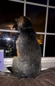 Border Terrier looking out of the window