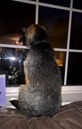 Resultado de imagen para border terrier window