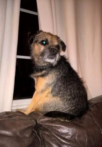 Border Terrier sitting at the window