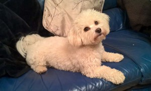 Bichon Maltese mix would work better for food reward