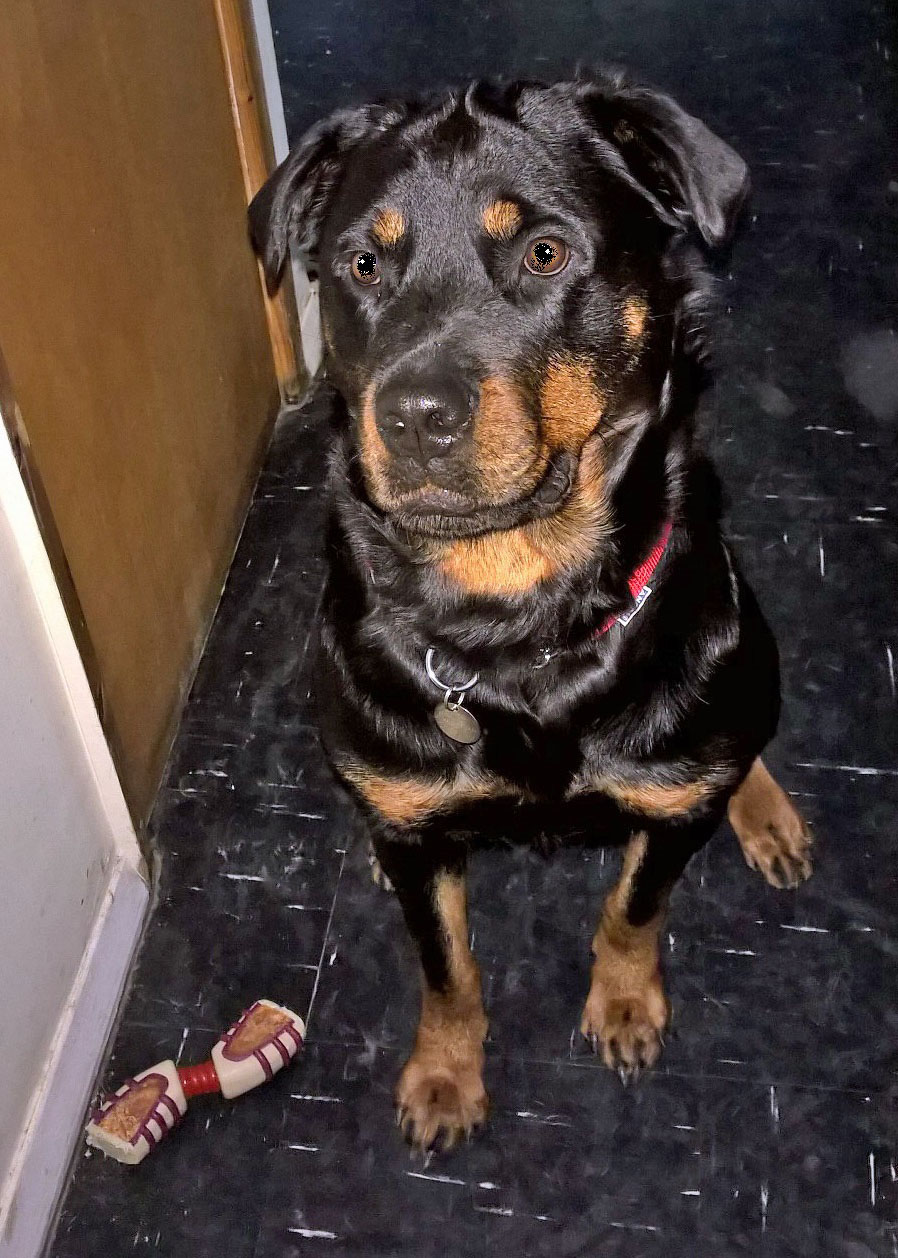 Rescue Rottweiler house-trained not home trained