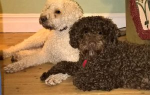 Two young Spanish Water Dogs