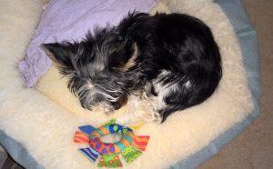 Sleeping Yorkie pup