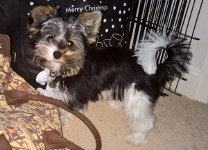 Yorkie pup who suffers separation